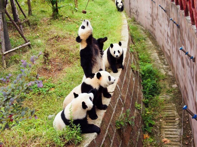 1-day Chengdu Panda Tour